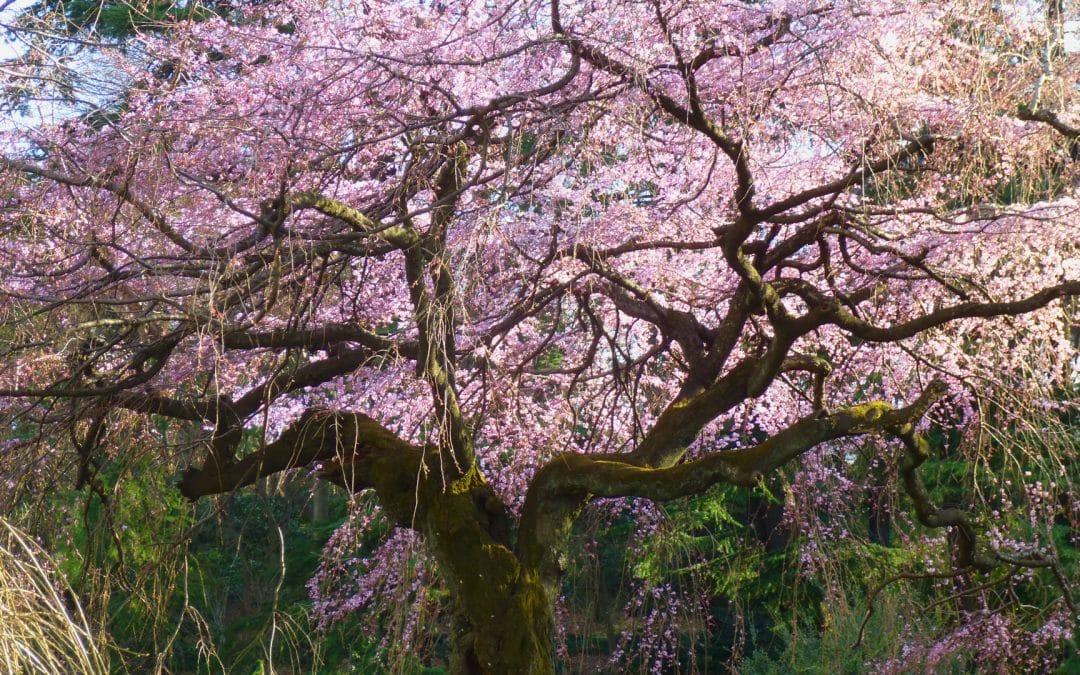 Cherry Blossoms, Shinjuku Gyoen National Garden