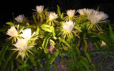 The Flower of the Dragon Fruit Blooms Only at Night