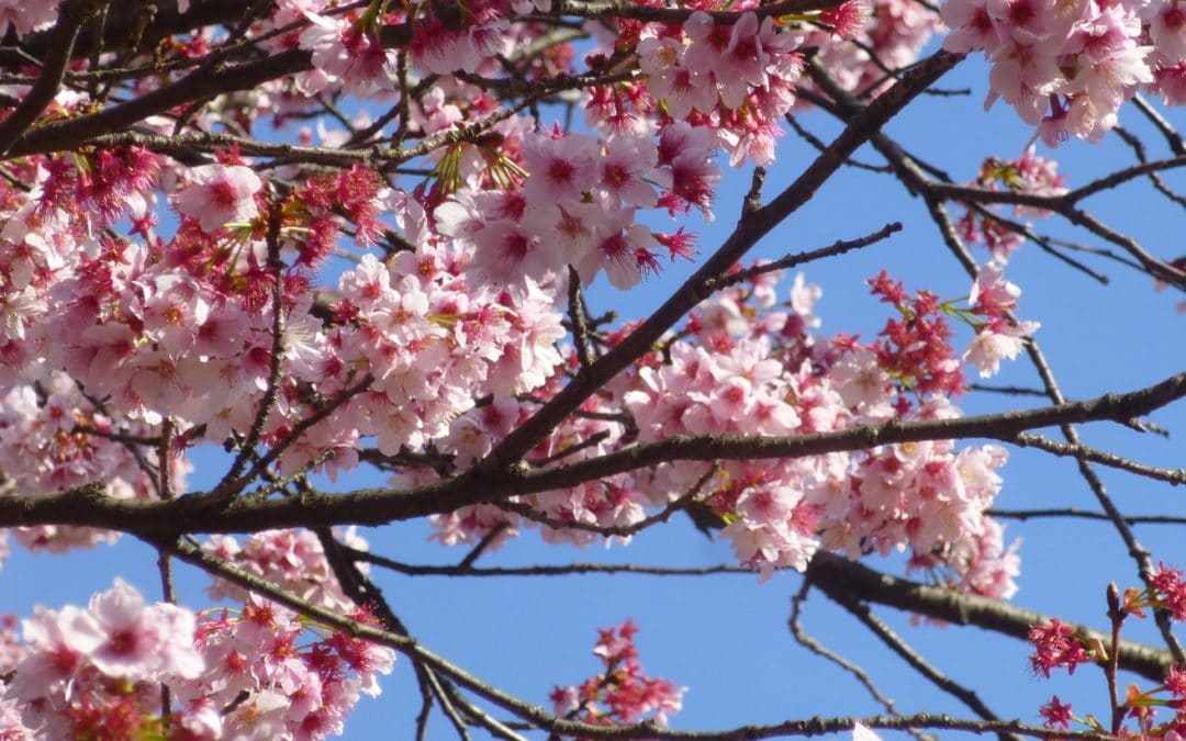 Early Cherry Blossoms in Tokyo, Japan