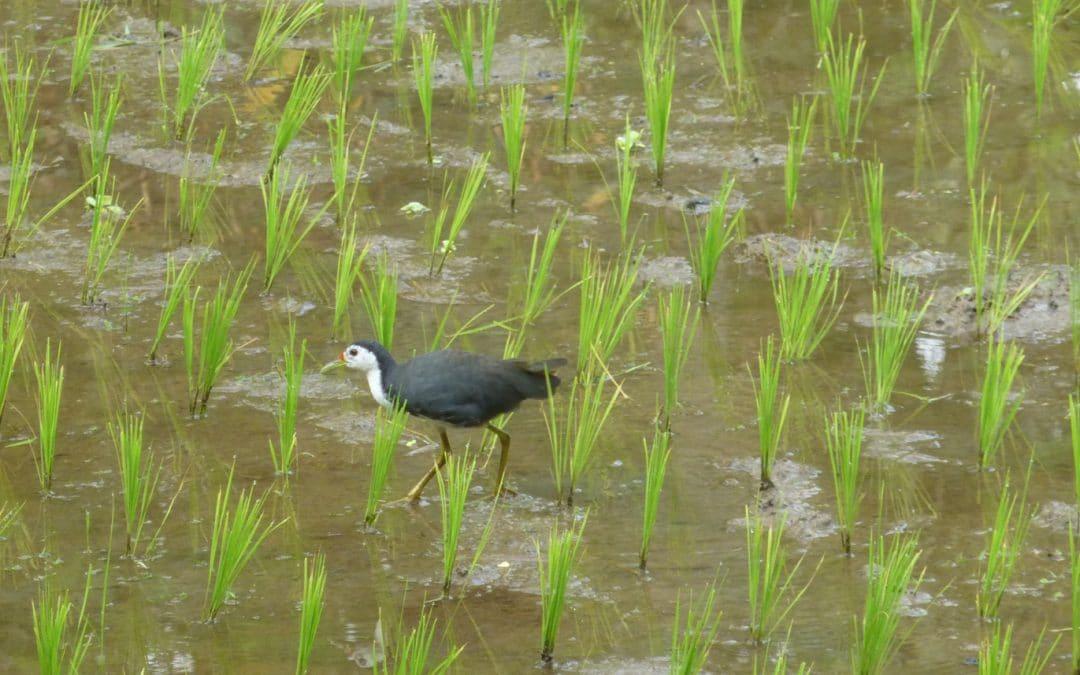 White-breasted Waterhen in Rice Fields of Bali
