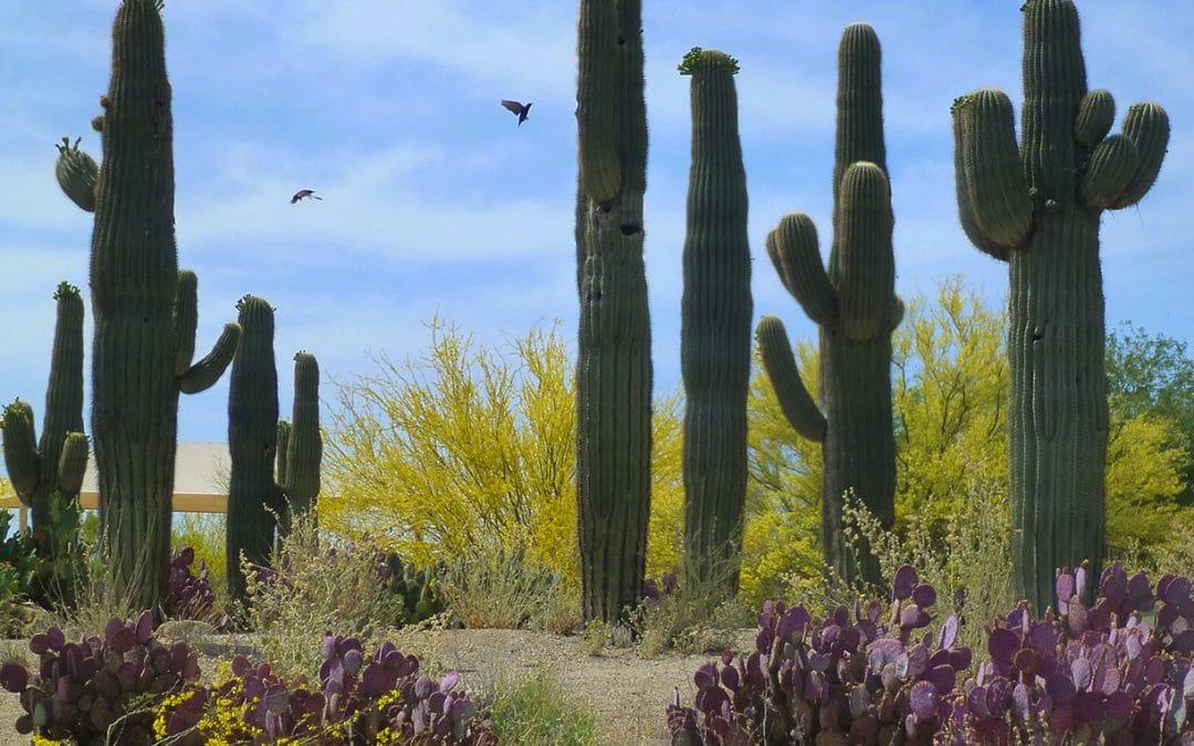 Saguaro Cactus Garden, Arizona