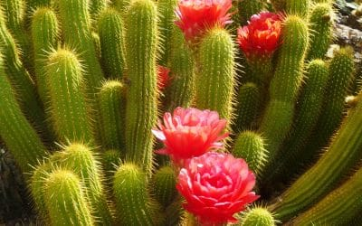 Blooming Cactus in Sonoran Desert of Arizona