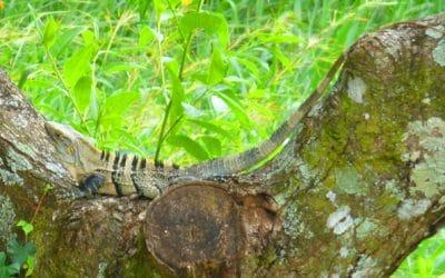 Ctenosaur Lizard in Tree, Atenas, Costa Rica