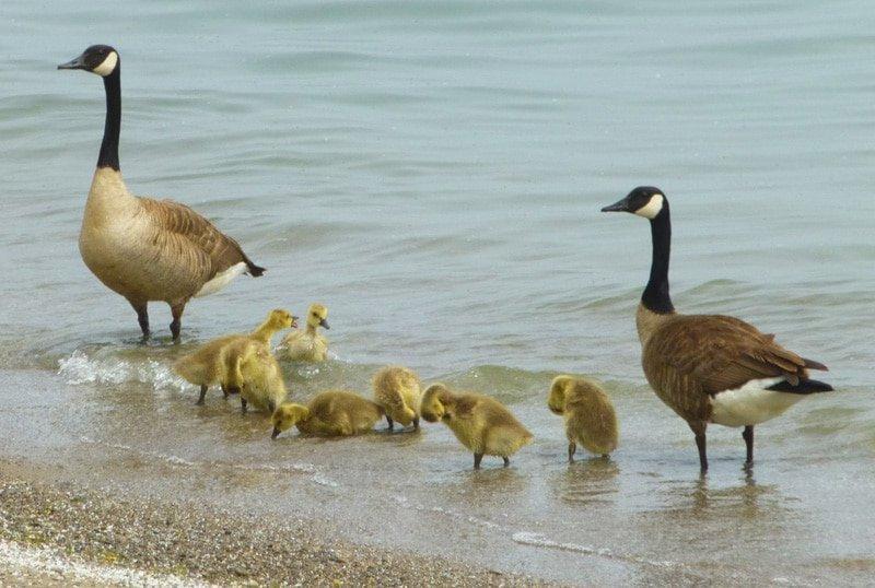 Canadian Geese, Toronto, Canada
