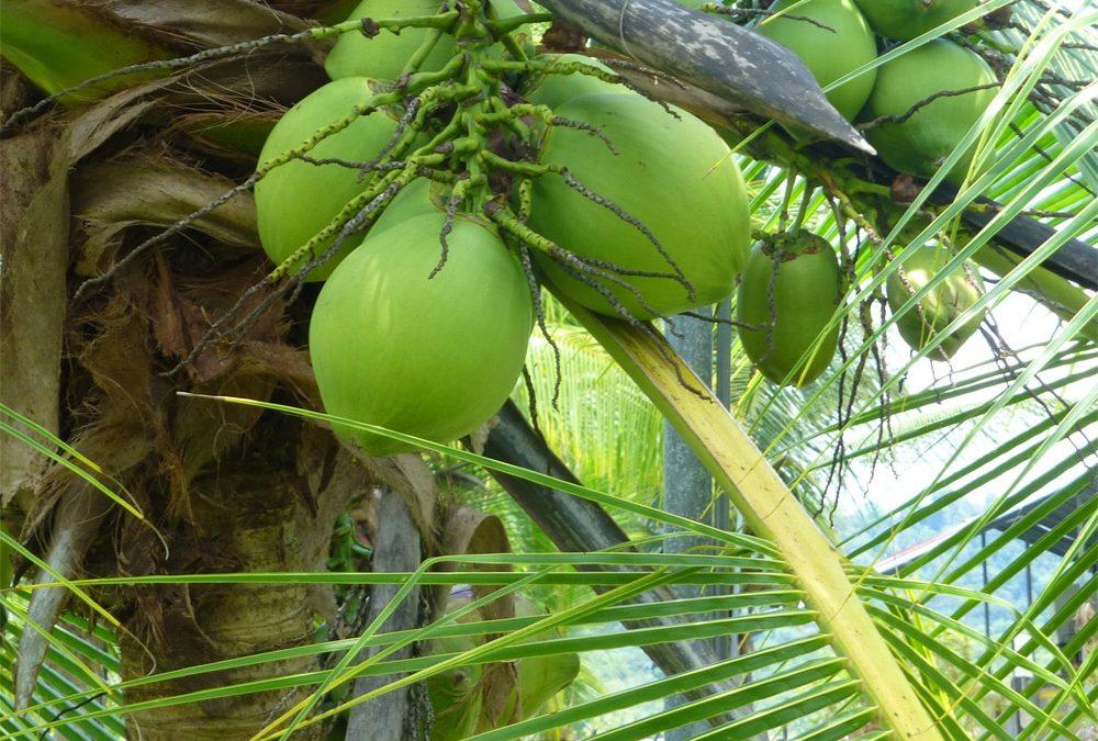 Coconut palm in Costa Rica